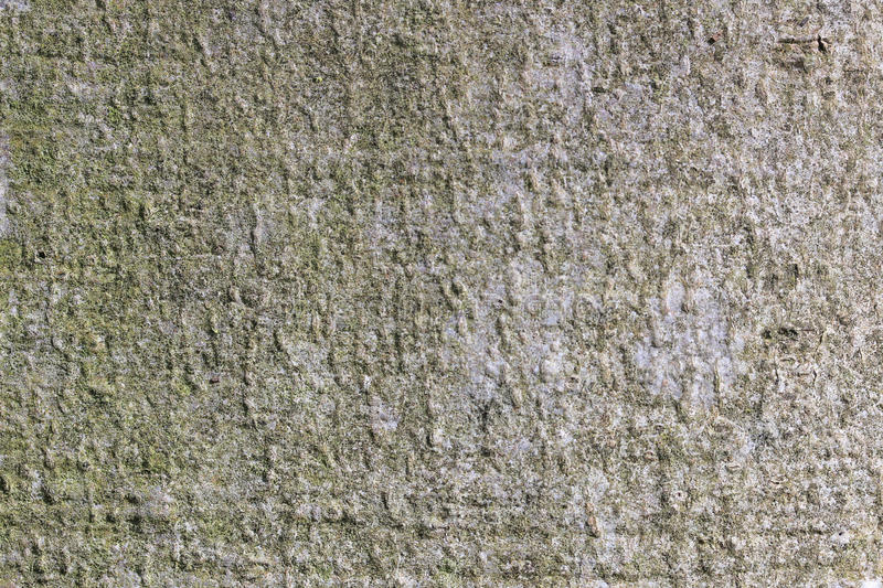 Background, texture wood, bark of beech tree, royalty free stock photography