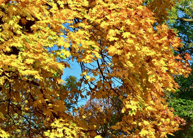 Background texture of yellow leaves autumn leaf background stock image