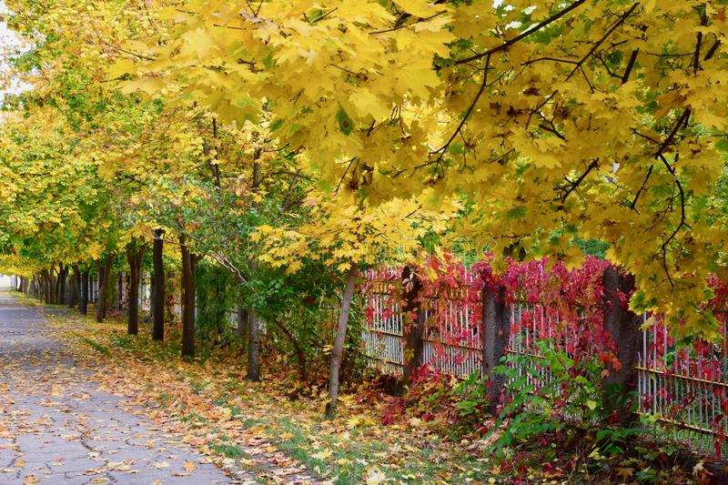 Background texture of yellow leaves autumn leaf background stock photo