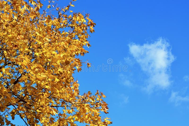 Background texture of yellow leaves autumn leaf background royalty free stock photography