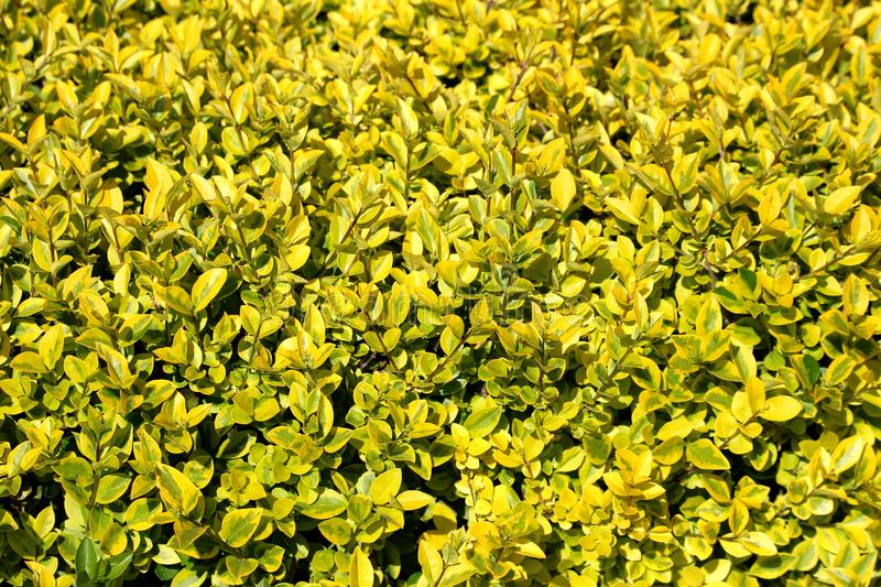 Background texture of yellow to light green leaves on Hedge or Hedgerow closely spaced densely planted shrubs in local garden. On warm sunny spring day stock photography