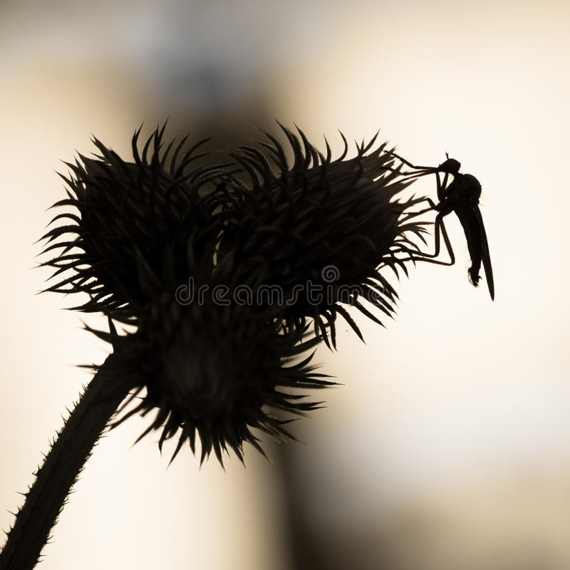 Background with thistle and insect in black and white. Insect over thistle - isolated and black silhouette macro. . vector illustration