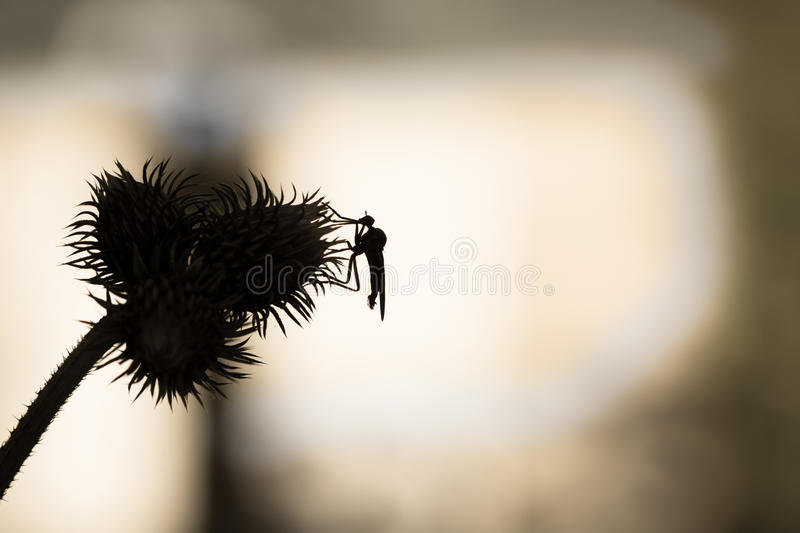 Background with thistle and insect in black and white. Insect over thistle - isolated and black silhouette macro. . stock photography