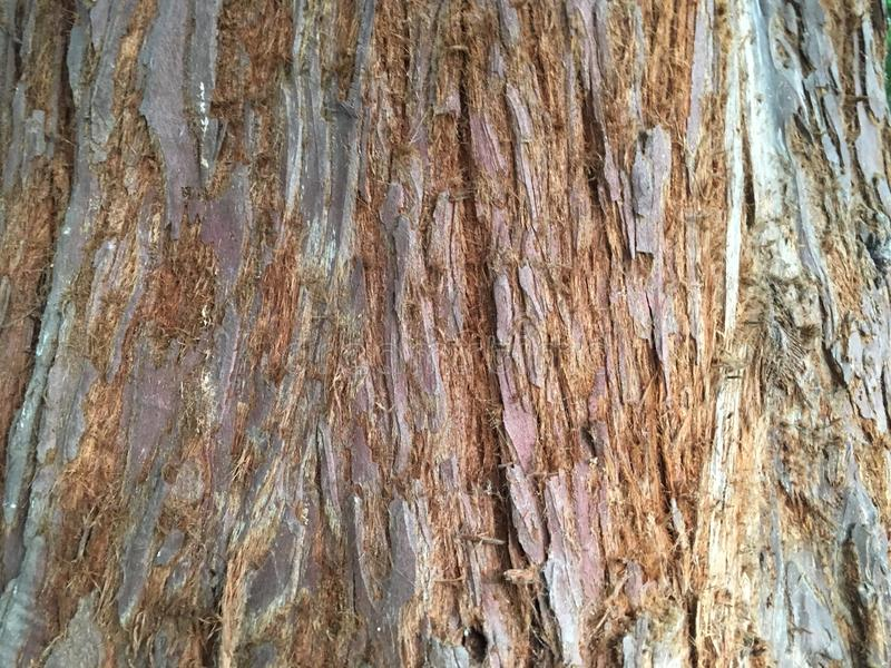 Background tree bark closeup - Californian redwood Sequoia Sempervirens royalty free stock photography