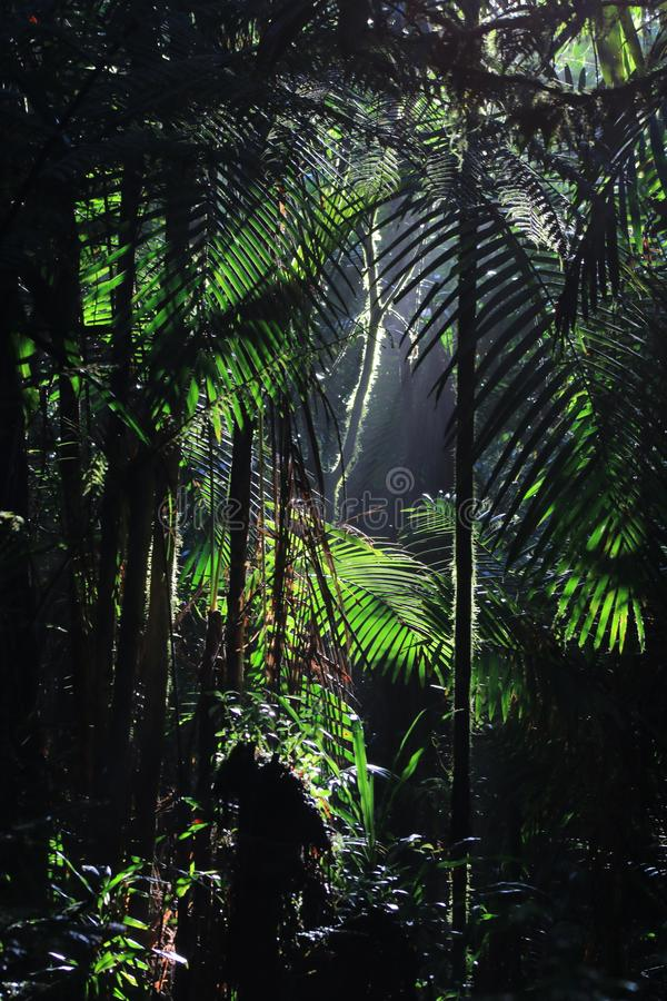 A background of Tropical rainforest with sun rays coming in from above highlighting many palm leaves. A background of lush Tropical rainforest with sun rays stock images