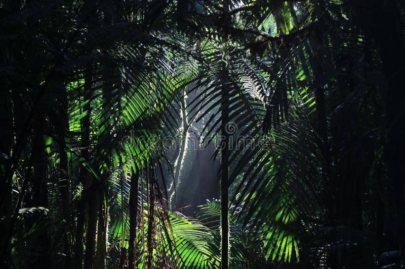 A background of Tropical rainforest with sun rays coming in from above highlighting many palm leaves. A background of lush Tropical rainforest with sun rays stock photography