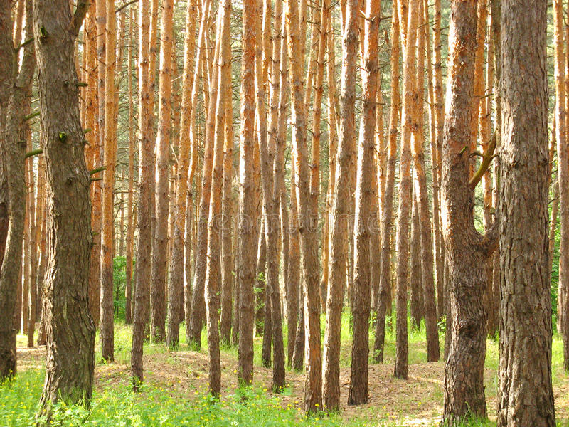 Background of trunks growing pine trees royalty free stock photo