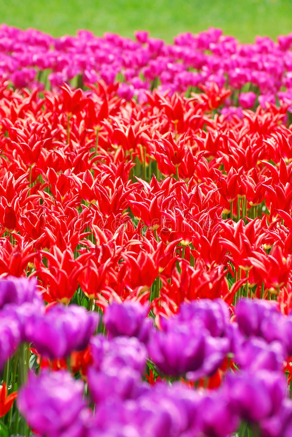 Background with tulip fields in different colors royalty free stock images