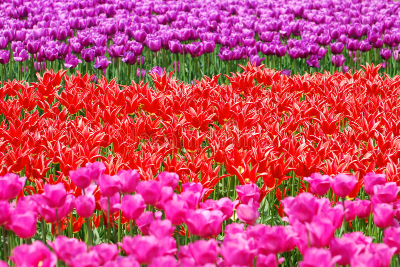 Background with tulip fields in different colors stock photography