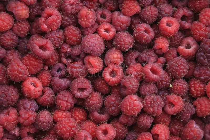 Raspberry 1 royalty free stock photos