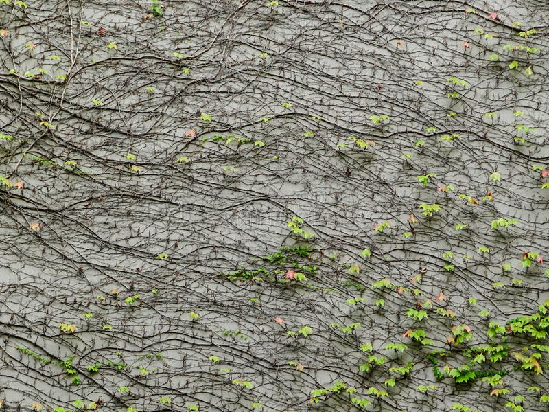Background of a vine of wild grapes that has grown over a gray plastered wall. Beautiful background of a vine of wild grapes that has grown over a gray royalty free stock photography