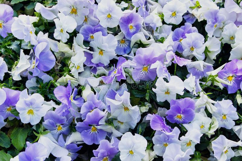 Background with Viola tricolor blooming flowers. royalty free stock images