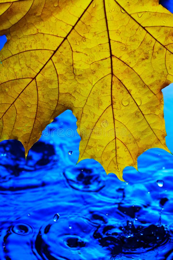 Background wallpaper for screen savers. Yellow autumn leaf over blue water during rain. Splashes and drops of water with blue. Water stock photography