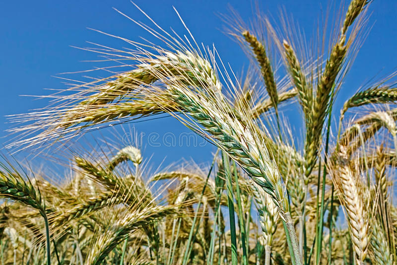 Background with wheat 9. Background with wheat ears on a background of blue sky royalty free stock photo