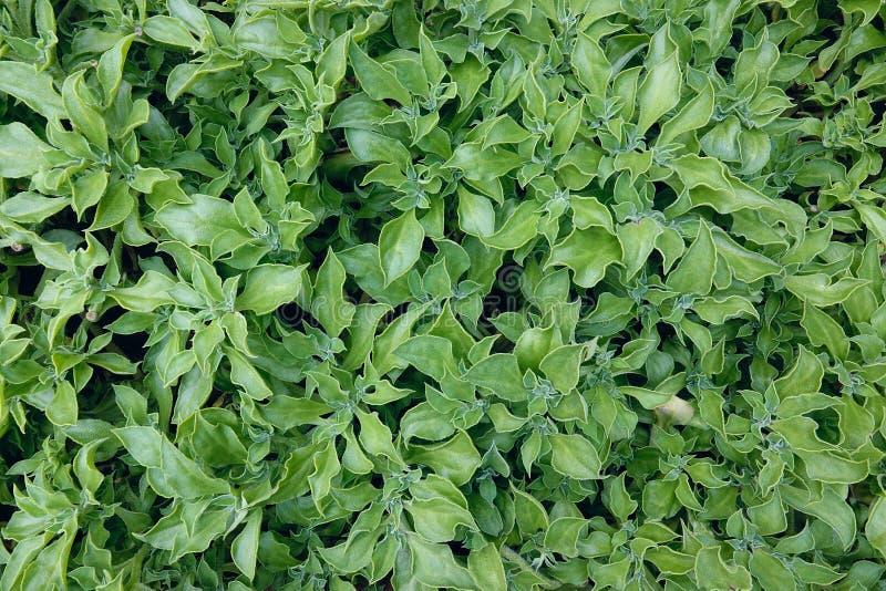 Wheatgrass. The background of wheatgrass. Scientific name: Mesembryanthemum crystallinum stock images