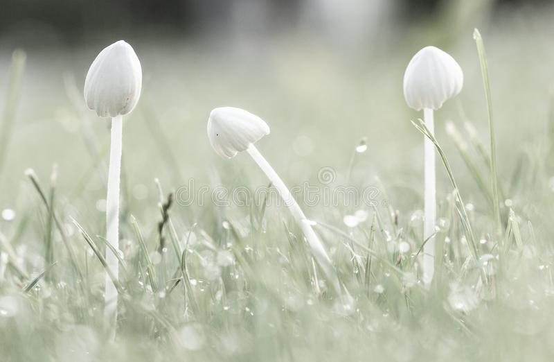 Background, white mushrooms in green grass, with dew drops royalty free stock photos