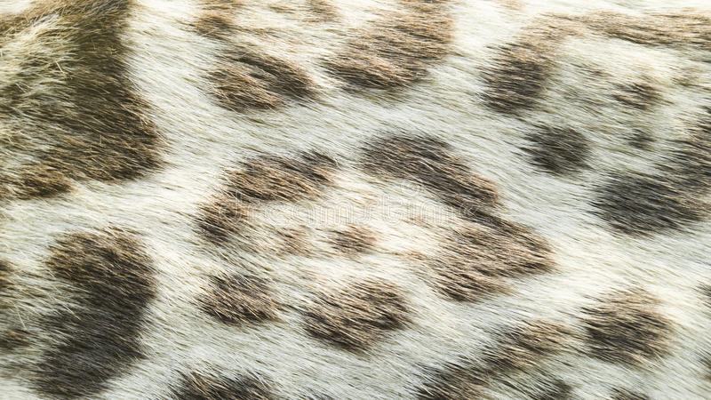 Background of wild feline cat. Texture of wild feline cat fur royalty free stock photo