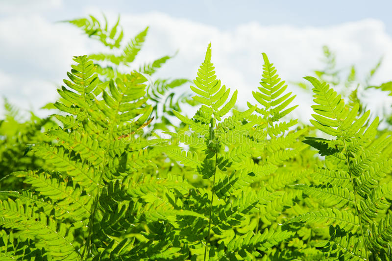Download Background of wild fern stock image. Image of outside - 15646915