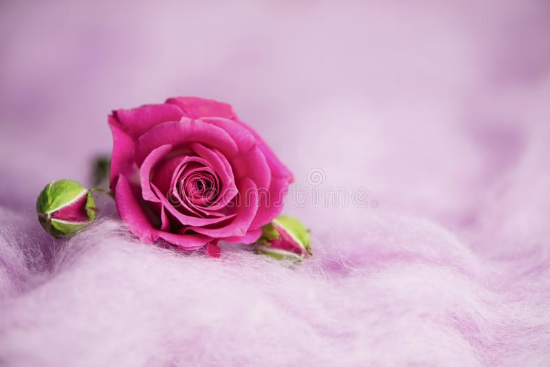 Background of wild pink rose on decorative wool royalty free stock image
