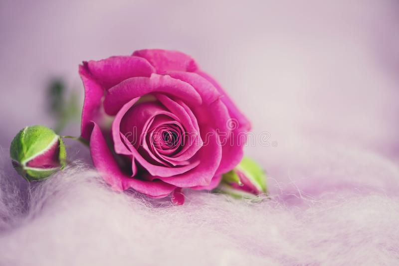 Background of wild pink rose on decorative wool royalty free stock photo