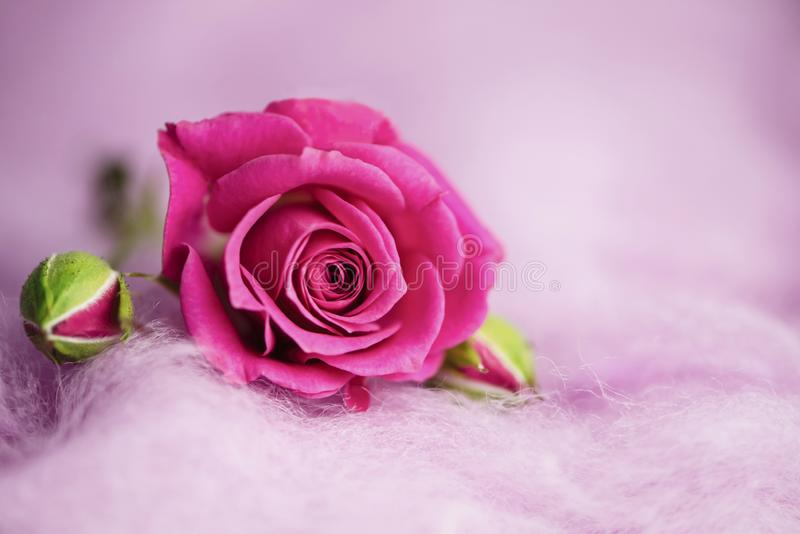 Background of wild pink rose on decorative wool royalty free stock photos