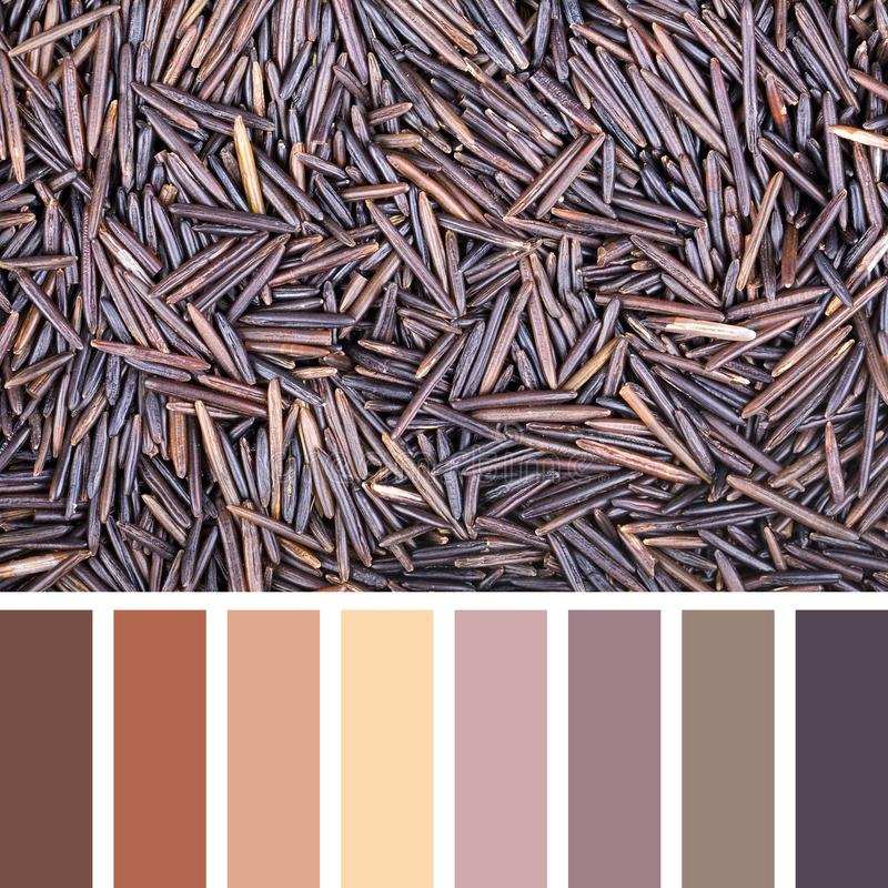 Wild rice palette. A background of wild rice In a colour palette with complimentary colour swatches stock images