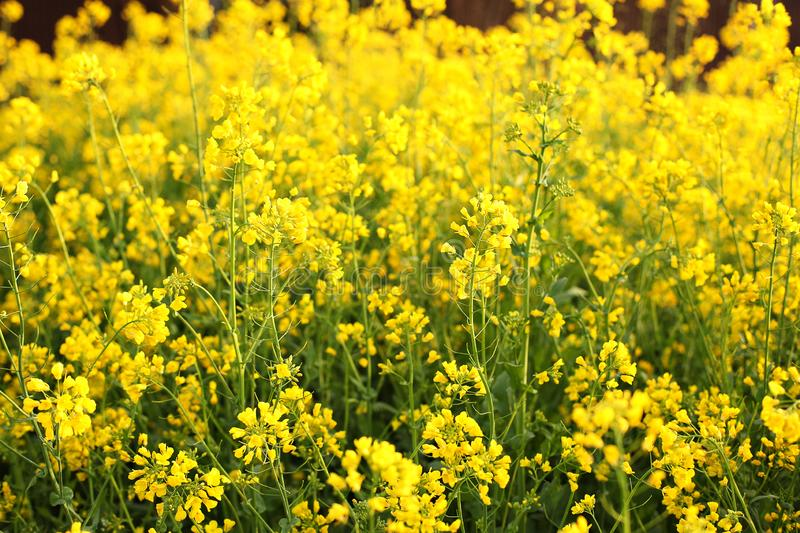 Background of wildflowers at sunset in summer. Farm crop field. Agriculture, vegetation, countryside, village. Rapeseed field. Bri. Ght Yellow rapeseed oil stock image