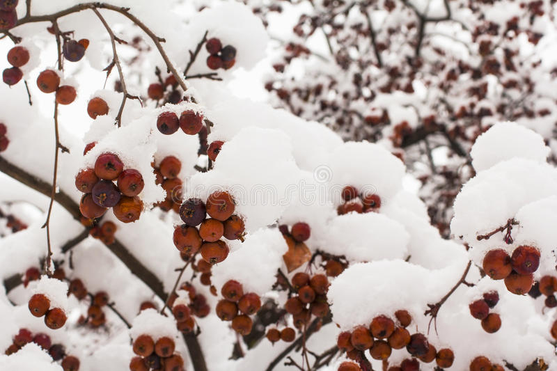 Background winter landscape red berries. On a tree sprinkled with white snow stock photo