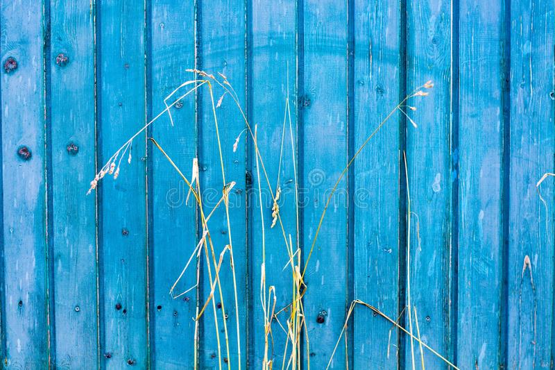 On the background of the wooden surface of blue shade a grassy plant grows. The plant has dried and turned orange royalty free stock photos