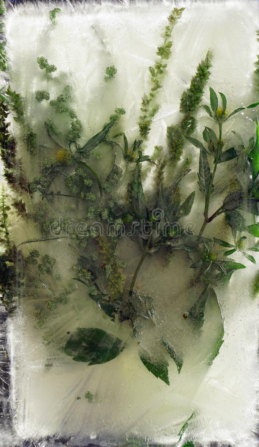 Background of wormwood absinth leaves frozen in ice royalty free stock photos