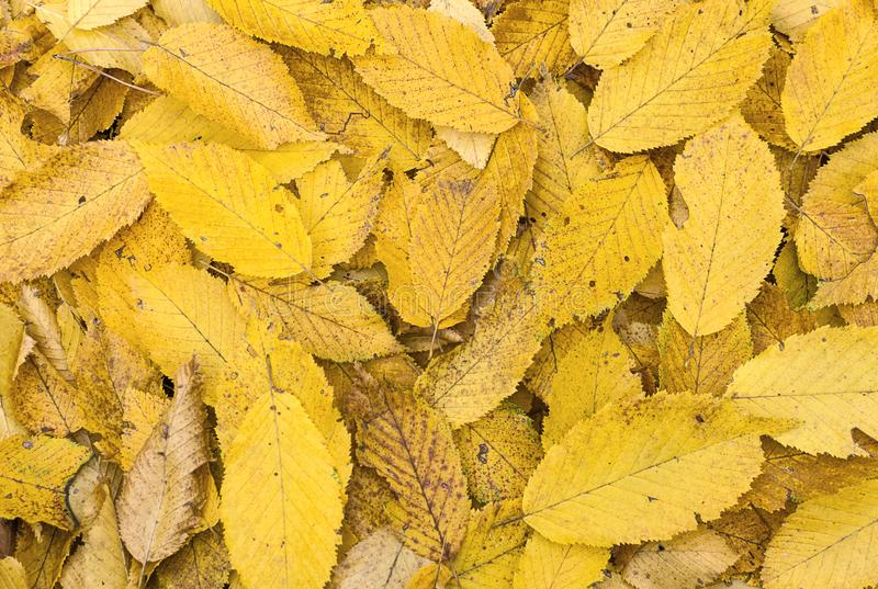 Yellow autumn leaves background stock images