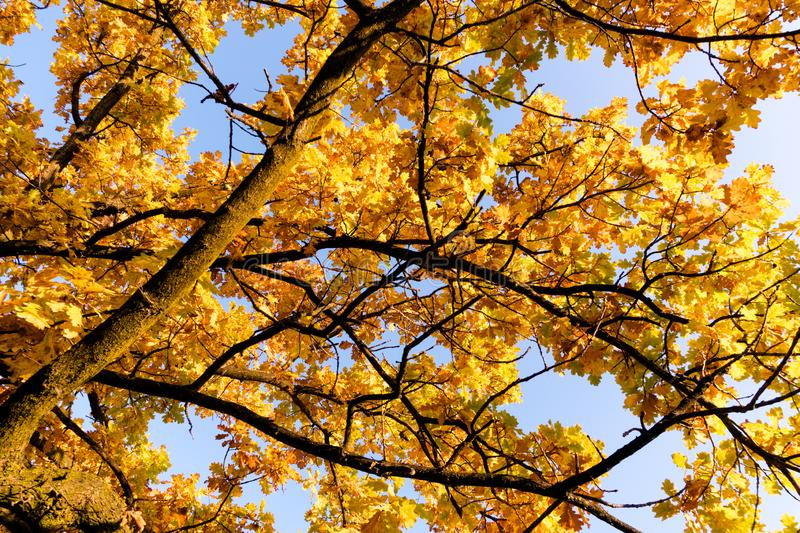 Yellow colorful fall foliage tree under a blue sky up close royalty free stock photography
