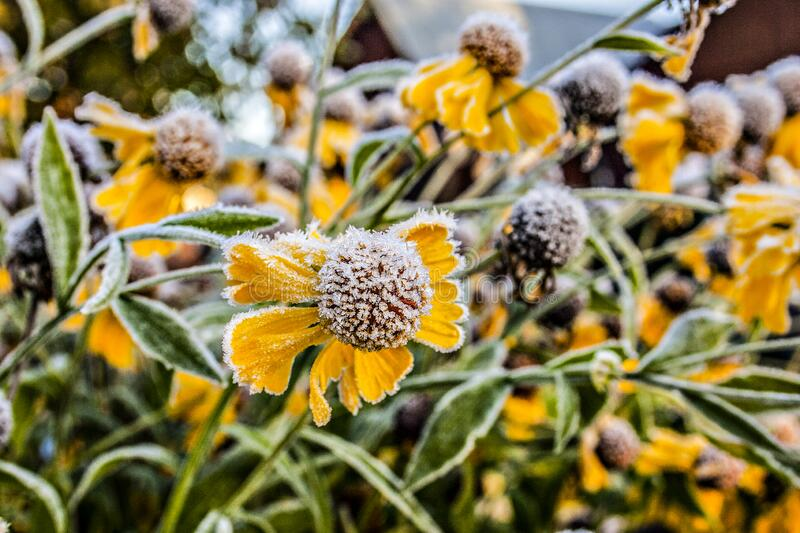Background with yellow flowers in hoarfrost. Spring camomiles. Beautiful background with  Helenium flowers  in the garden. macro photo with selective focus royalty free stock photography