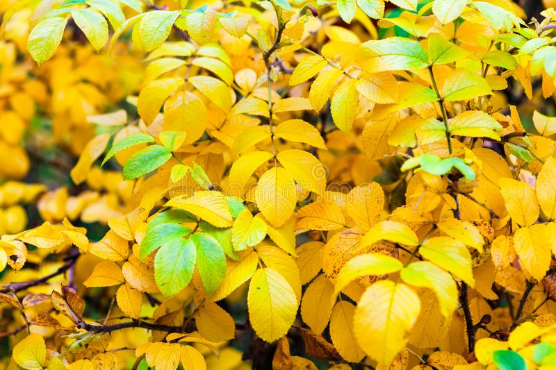 Background yellow and green leaves in the autumn tree in the park.  stock image