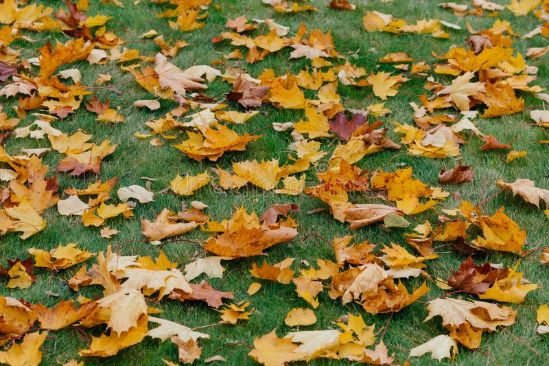 Background from yellow leaves, green grass, autumn concept. Macro photo of foliage. Season concept. Ground covered with maple leav royalty free stock photos