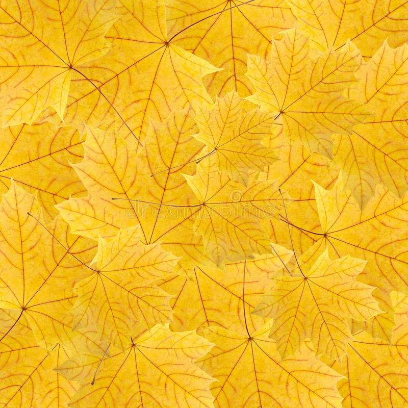 Download Background Of Yellow Maple Leaves Stock Images - Image: 23310704