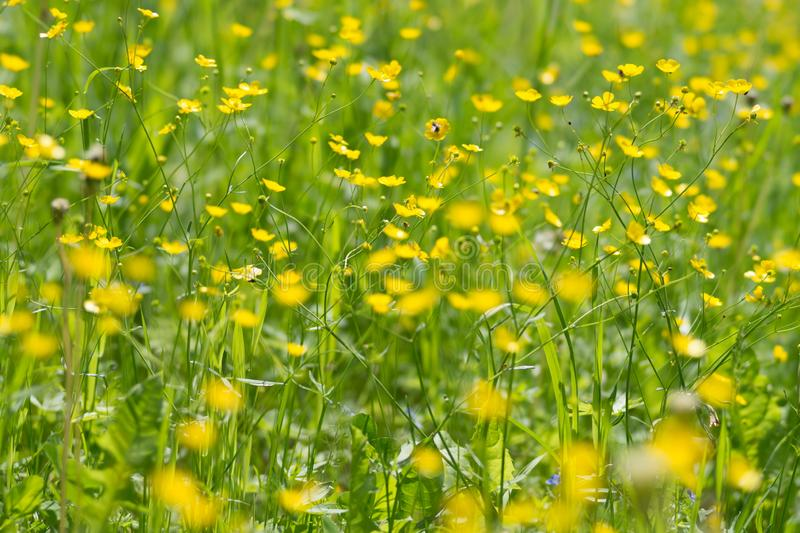 Background of yellow meadow flowers of a buttercup in a natural environment stock photography