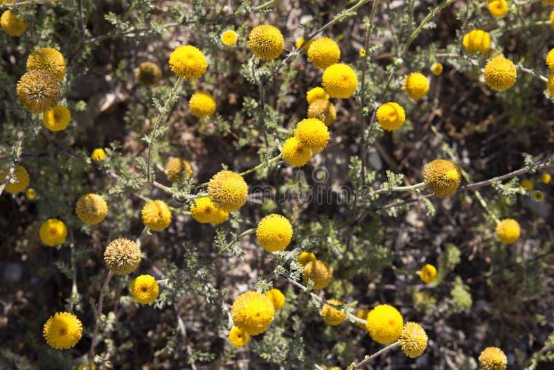 Background of yellow flowers. Santolina chamaecyparissus royalty free stock image