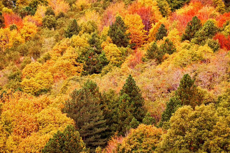 Background of yellow and orange trees in autumn. In a forest, aerial view royalty free stock image