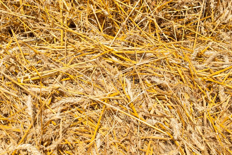 The background of the yellow straw, harvesting will ideally suit the background of the inscripti stock image