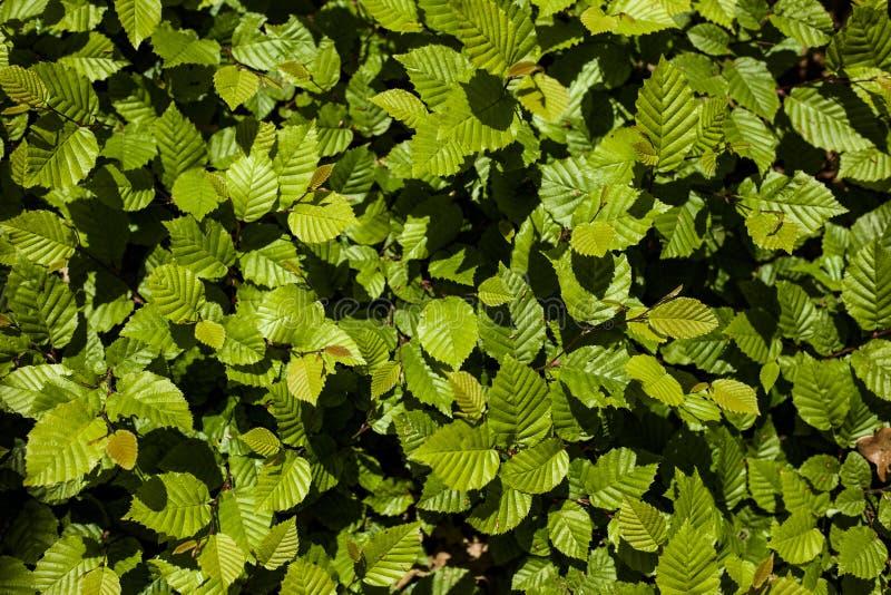 Background of a young hazelnut bush close-up royalty free stock photography