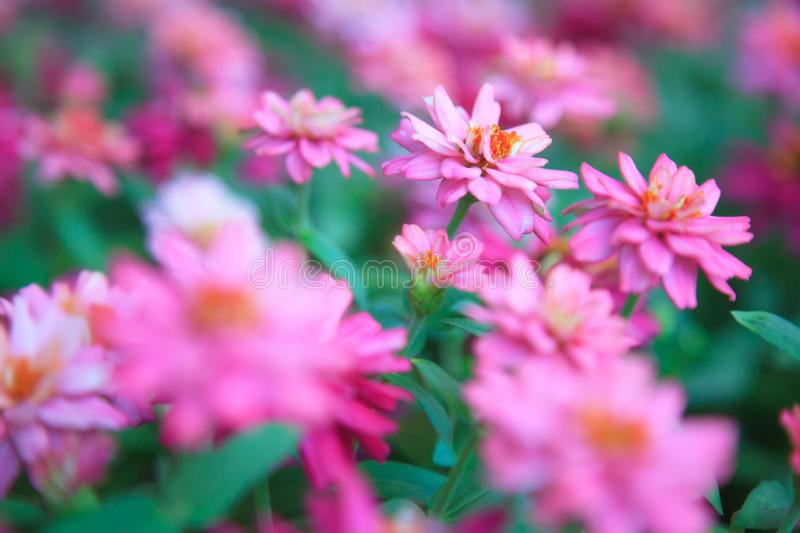 Background of Zinnia elegans youth-and-age, common zinnia or elegant zinnia, is annual flowering plant grown as popular ornamen. Tal garden plant. Flowering pom royalty free stock photo