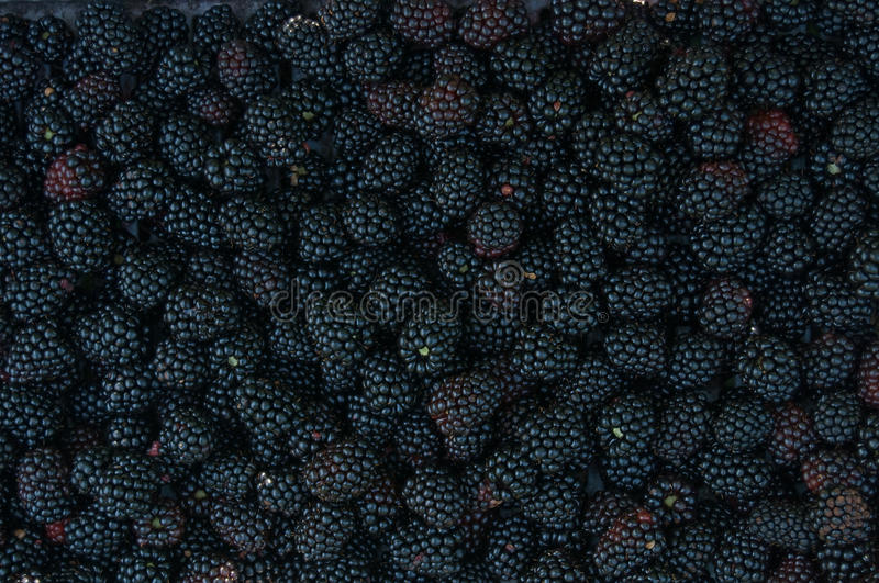 Backgrounds of blackberries. Backgrounds of many of blackberries stock photos
