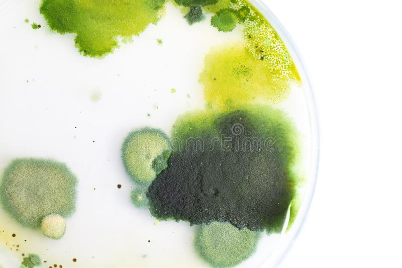 Backgrounds of Colony Characteristics of Fungus and algae in petri dish for education. Backgrounds of Colony Characteristics of Fungus and algae in petri dish stock photo