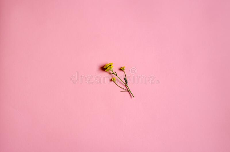 A small flower in the center of the photo. Minimalism. Flower on a pink background. royalty free stock photos