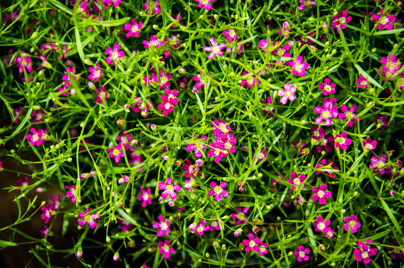 Backgroung Bush of pink and red Gypsophila flower, babysbreath. Bush of pink and red Gypsophila flower, babysbreath gypsophila- hanging garden royalty free stock photo