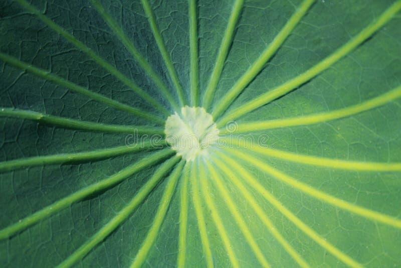 Backgroung vert de texture de feuille de lotus photo stock