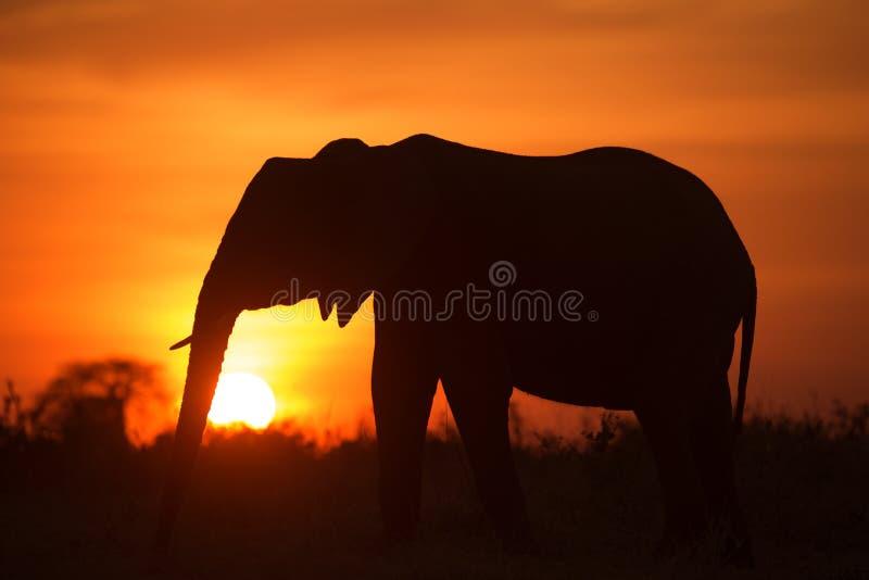 Backlight африканского слона стоковая фотография rf