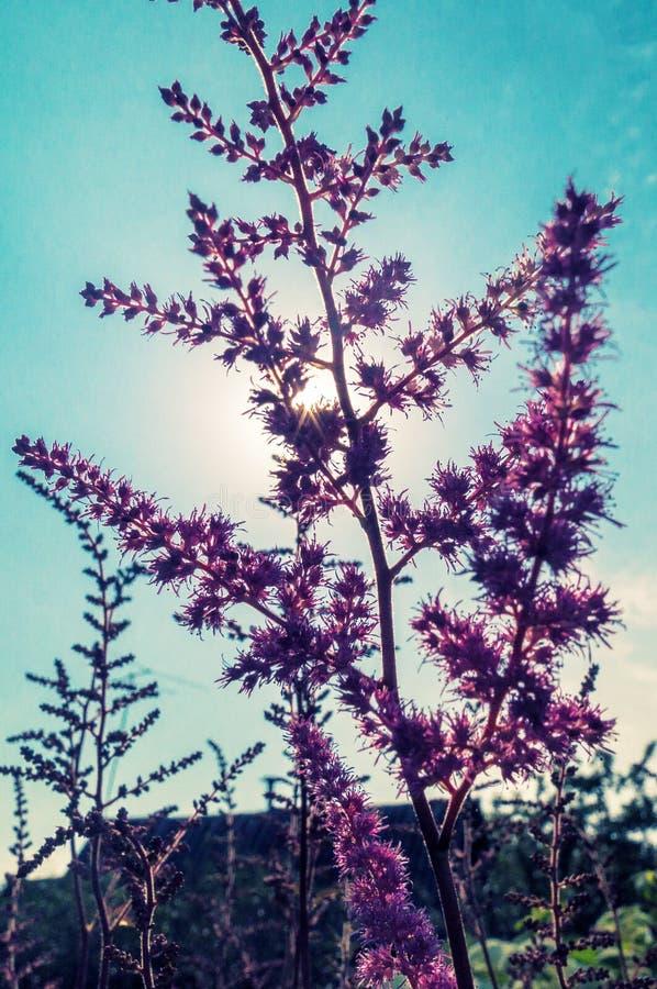 Backlight menchia kwiat obrazy stock