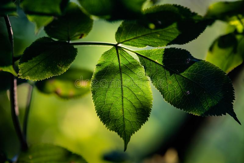 Backlight op bladeren stock afbeeldingen